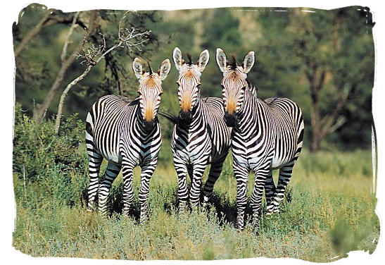 Three striped musketeers - about the Cape Mountain Zebras in the Mountain Zebra National Park
