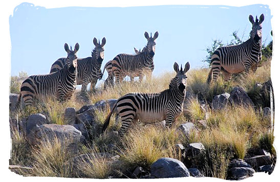 Small herd of Mountain Zebras - The Cape Mountain Zebra National Park, endangered Mountain Zebras