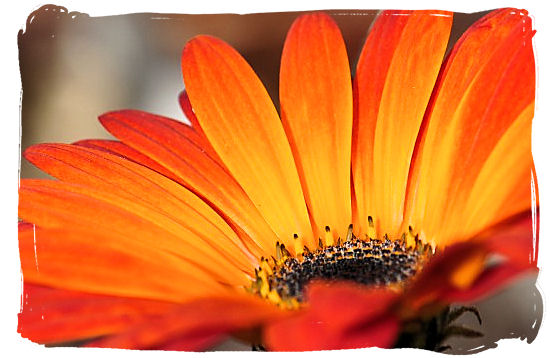 Close-up of the Namaqua daisy - Namaqualand National Park and the Namaqua flowers spectacle