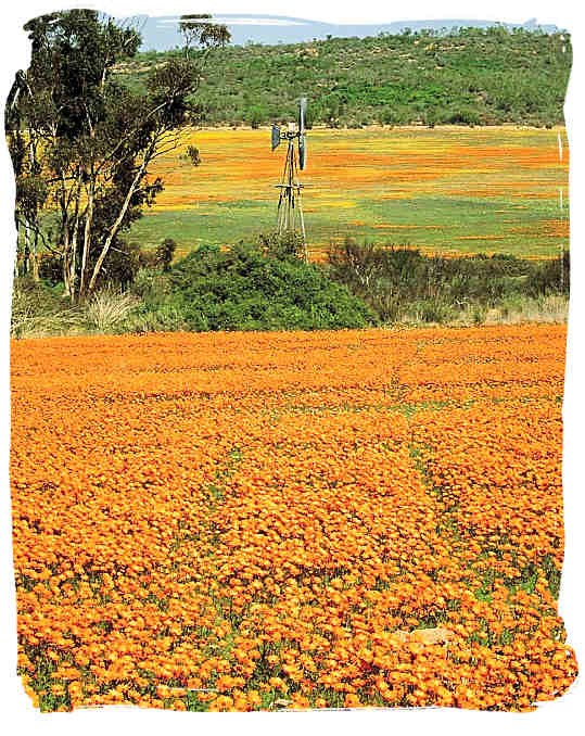 Namaqua, fields upon fields of flowers - Namaqua flowers spectacle, Namaqualand National Park South Africa