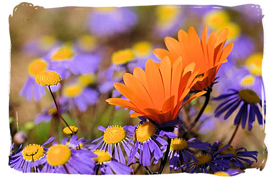 The world renown Namaqua daisy - Namaqualand flowers spectacle, Namaqualand National Park South Africa