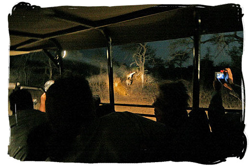 Guided game drive at night - Satara Rest Camp in the Kruger National Park South Africa