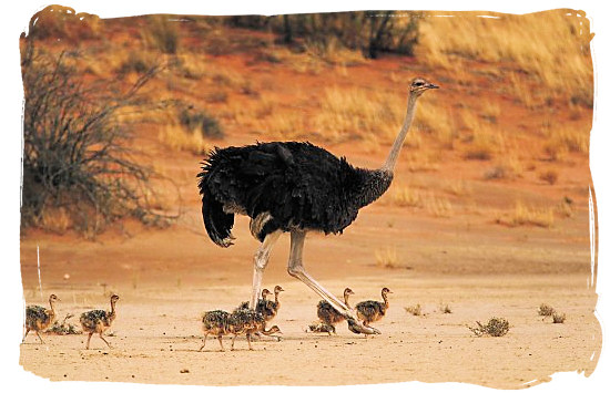 A female Ostrich and her chicks - The Cape Mountain Zebra National Park, endangered Mountain Zebras
