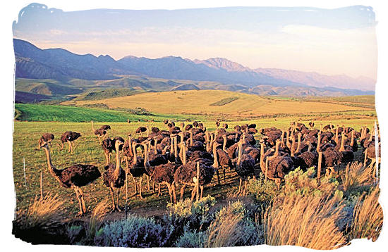 The Karoo National Park South Africa, Little Karoo, Great Karoo - Ostrich farming in the Klein Karoo