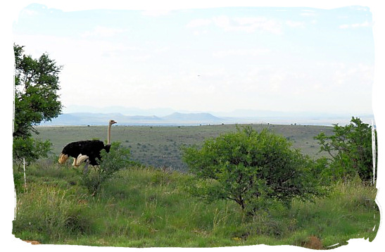 Lonely Ostrich - The endangered Mountain Zebras in the Mountain Zebra National Park