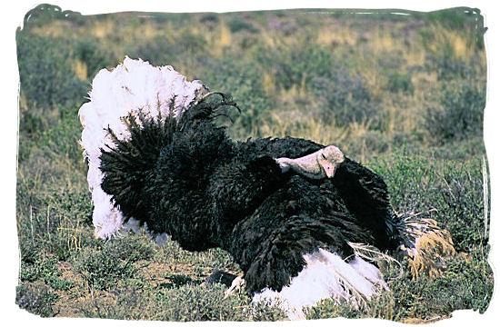 Male Ostrich performing his mating dance