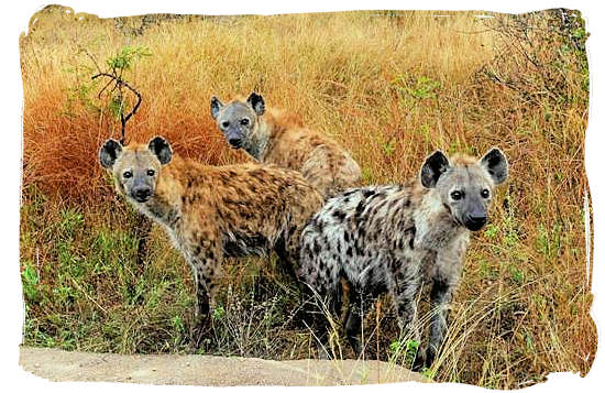 Pack of Hyenas on the hunt
