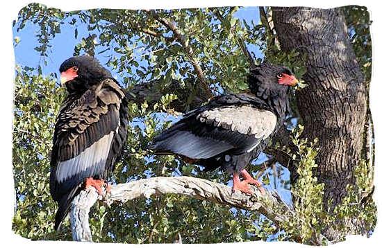 Pair of Bateleur Eagles, left the Male and right the Female - Bateleur Camp, Place of the Bateleur Eagle, Kruger National Park