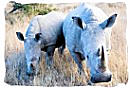 Pair of White Rhinos