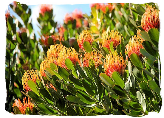 The Pincushion Protea, their natural habitat is the area around Cape Town - Kirstenbosch Botanical Gardens, Home to Stunning Protea flowers