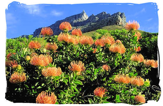 Proteas in the Kirstenbosch Botanical Gardens on the rear side of Table Mountain - Table Mountain National Park near Cape Town in South Africa