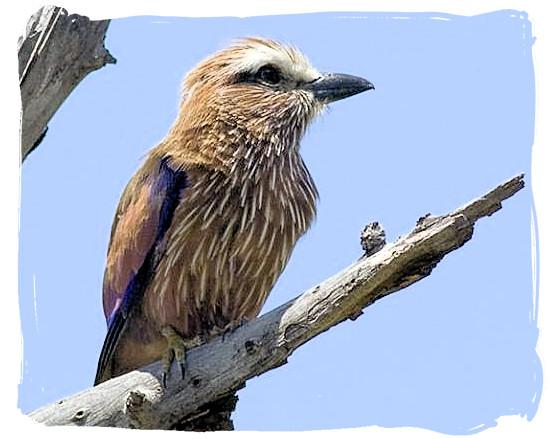 Purple Roller (Coracias naevius)