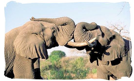 Quarrelling elephant bulls - Boulders Bush Lodge, Kruger National Park, South Africa