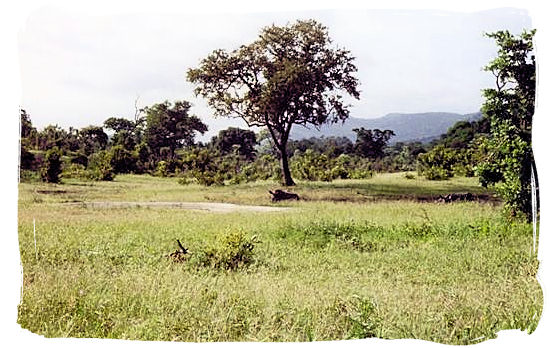 Kruger National Park landscape with Rhinos lying in the grass