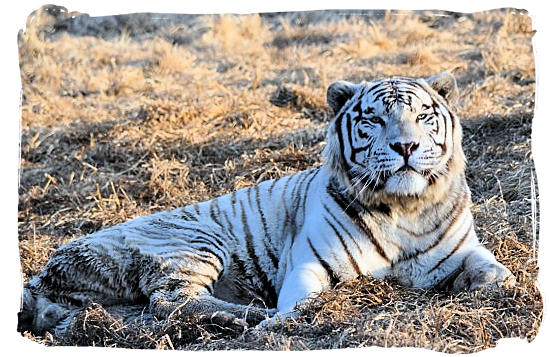 One of the also extremely white Siberian Tigers which was bred in the Rhino and Lion Nature Reserve - City of Johannesburg South Africa Attractions, the Top 15