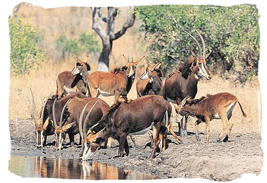 Herd of rare Sable antelopes - Roodewal Bush Lodge