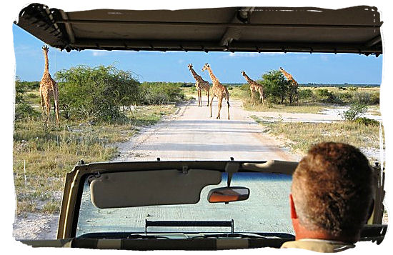 Giraffes encounter on a game drive