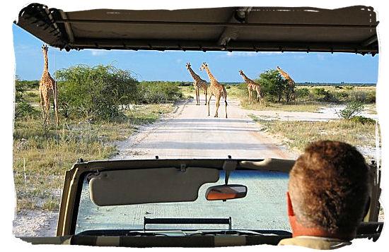 Giraffes encounter on a game drive
