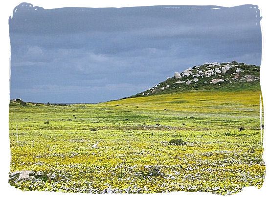 The breathtaking sight of a sea of wild flowers covering large areas of the Park. - West Coast National Park vegetation, South Africa National Parks