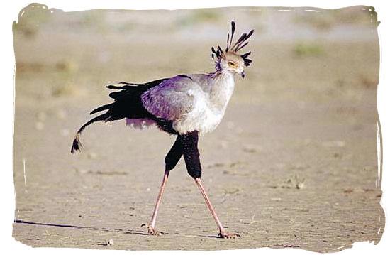 Secretary bird - Sirheni Bushveld Camp, Kruger National Park Safari, South Africa