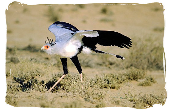 The beautiful Secretary bird stretching  its wings - The Cape Mountain Zebra National Park, endangered Mountain Zebras