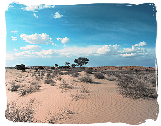 Typical Kalahari semi-desert landscape - Kgalagadi Transfrontier National Park in South Africa