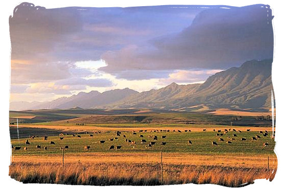 Sheep farming at the foot of the Langeberg mountain range