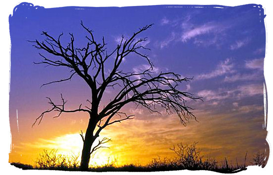 Lonely tree in the Kgalagadi Transfrontier Park, Kalahari