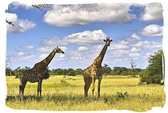 The beauty of the South African Savannah - Marakele Park in South Africa