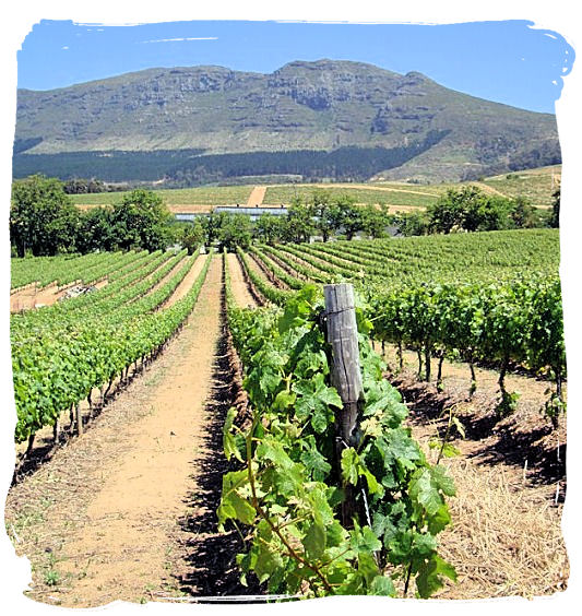 The vineyards of 17th century Groot Constantia, oldest wine estate in South Africa