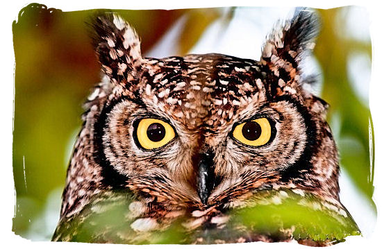 The Spotted Eagle Owl is found in sub-equatorial Africa from Kenya and Uganda south to the Cape - Kirstenbosch Botanical Gardens, Home to Stunning Protea flowers