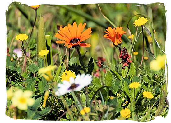 Close-up of the Park's gorgeous display of wild flowers - West Coast National Park vegetation, South Africa National Parks
