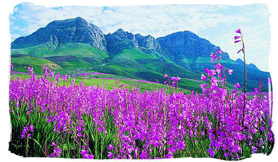 Spring time is flower time with dazzling displays of colour - Cape Town weather forecast, South Africa weather facts