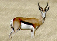 National animal of South Africa, the Springbok - National symbols of South Africa
