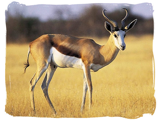 The Springbok antelope - South African National Symbols, National Symbols of South Africa
