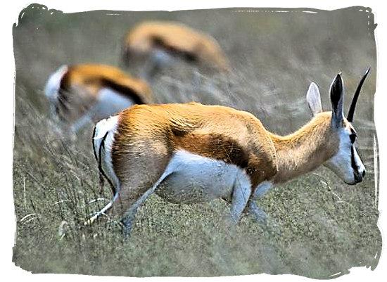 Springbok antelope, one of the national symbols of South Africa - Mata Mata Border Camp, Kgalagadi Transfrontier National Park