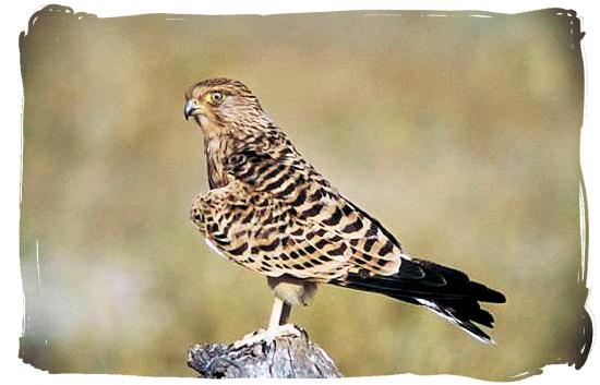 Tawny Eagle - Boulders Bush Lodge, Kruger National Park, South Africa