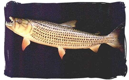 The African Tiger fish - Kruger National Park wildlife