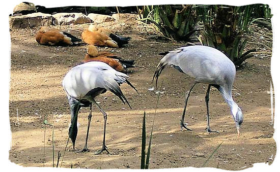 Two times Blue Crane, one of the national symbols of South Africa - Bontebok Park, National Parks in South Africa