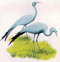 The Blue Crane
