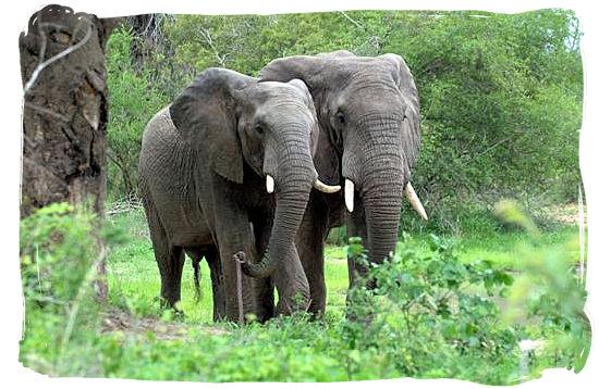 Pair of Elephant bulls - Bateleur Camp, Place of the Bateleur Eagle, Kruger National Park
