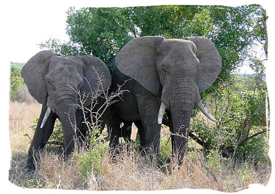 Two elephant bulls enjoying their siesta - Tsendze Camping site, Kruger National Park, South Africa