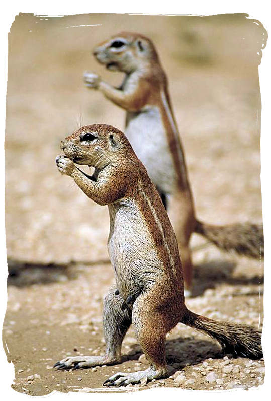 Pair of Ground Squirrels in the Kalahari desert - Kgalagadi Transfrontier National Park in South Africa