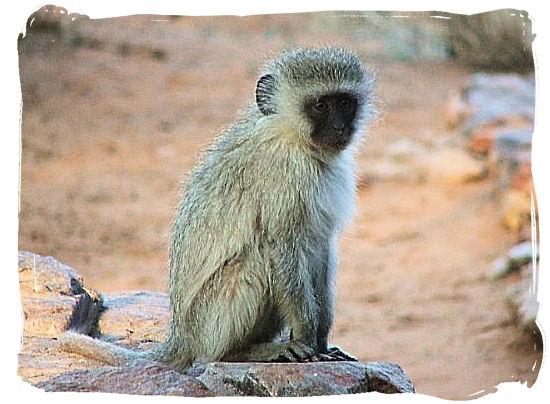 Vervet monkey having deep thoughts - The Kalahari desert, place of breathtaking Kalahari safaris