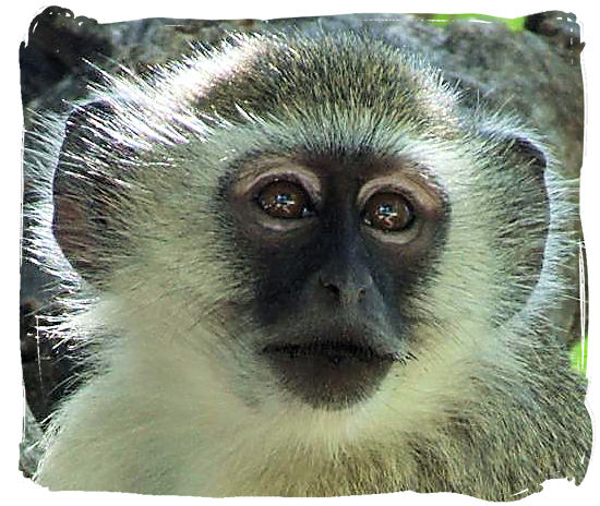 Vervet monkey - Kgalagadi Transfrontier National Park in South Africa