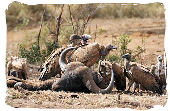 Vultures and their Buffalo meal in the Kruger National Park
