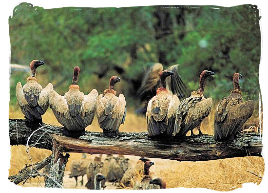 Bunch of vultures waiting for their turn to the dinner table - Marakele National Park accommodation