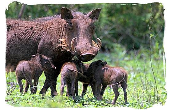 Warthog family - Skukuza Safari, Travel and Accommodation