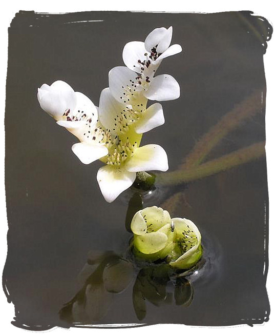 South Africa's famous Waterblommetjie (water lilly) - Cape Malay cuisine