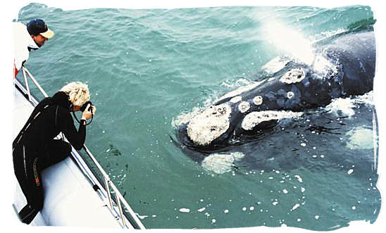 Eye to Eye encounter with a Southern Right whale